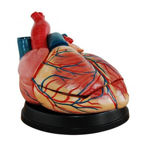 Jumbo Heart Modelo Medical Anatomy XC-307C