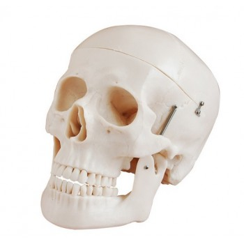 Deluxe Skull Style D Joint Modelo Medical Anatomy XC-104D