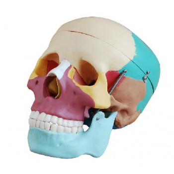 Skull Con Colored Bones Joint Modelo Medical Anatomy XC-104C