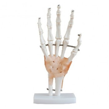 Hy Skeleton Modelo Con Ligaments XC-114A