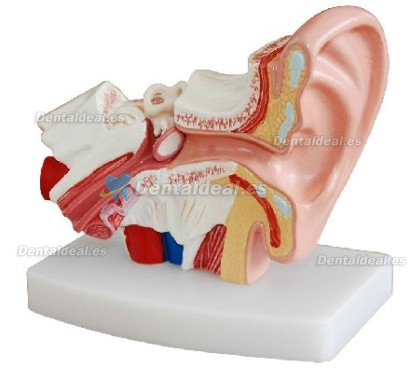 Desktop Ear Joint Modelo Medical Anatomy XC-303D